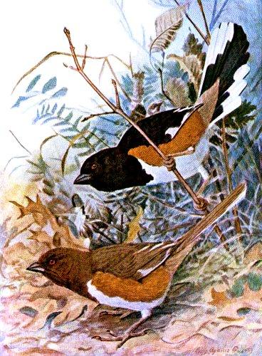 By Louis Agassiz Fuertes (1874-1927) [Public domain], via Wikimedia Commons